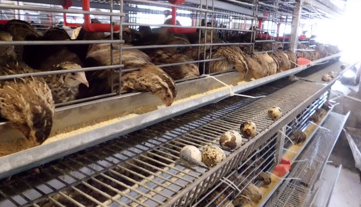 اخبار روز: بلدرچین از بازار پرکشید  بلدرچین از مرغ جلو زد